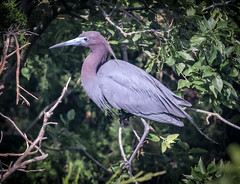 Little Blue Heron. (tresed47) Tags: 2018 201806jun 20180618njoceancitybirds birds canon7d content folder heron june littleblueheron newjersey oceancity peterscamera petersphotos places season spring takenby us