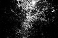 light through a roof of leafs (gato-gato-gato) Tags: europa leica leicammonochrom leicasummiluxm35mmf14 mmonochrom messsucher monochrom schweiz switzerland wald black digital forest gatogatogato gatogatogatoch nature rangefinder tobiasgaulkech white wood wwwgatogatogatoch sachseln obwalden ch manualfocus manuellerfokus manualmode schwarz weiss bw blanco negro monochrome blanc noir suisse svizzera sviss zwitserland isviçre berge mountains mountain gebirge fels stein stone rock