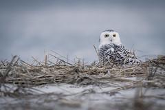 Snowy Owl ** (rich0234) Tags: nature holgate snowyowl forsythewildliferefuge
