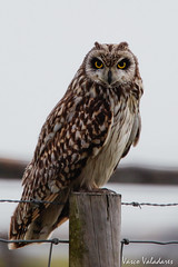 Coruja-do-nabal, Short-eared Owl (Asio flammeus) (valadares.vasco) Tags: corujadonabal shortearedowl asioflammeus