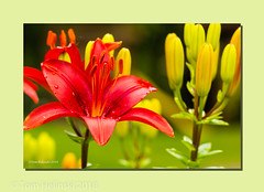 Asiatic Lily 2018.jpg (tomh2m) Tags: asiaticlily dayliliy lilys lily flower nature plant garden asiatic beautiful summer blossom beauty petal color blooming closeup stamen gardening decorative landscaping ornamental gorgeous flowering brightlycolored