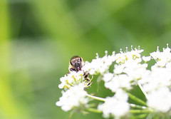 Hungry Bee 2 (Petr Kábrt) Tags: bee flower polen insect animal nature plant flowerphotography flowerphoto plantphotography animalphotography insectphotography closeup detail macro macrophotography fauna