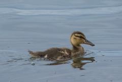 Mallard (Anas platyrhynchos) (ekroc101) Tags: birds mallard anasplatyrhynchos alaska anchorage westchesterlagoon