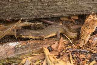 Palmate newt sheltering under a log