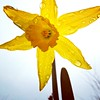 Wenigstens eine Osterglocken-Sonne scheint :-) (Antje_Neufing) Tags: osterglocken frühlingsblumen frühling blume gelb regen tropfen regentropfen
