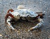 Mr Crabbs (dan487175) Tags: crab sea sand water claws shell pincers stone nature animal seaside holiday england nikond3300 nikon legs eyes skegness sandybeach blue red armor crustacean krabbe