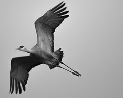 Crane (#4) (TW Olympia) Tags: sandhill crane vancouver lake