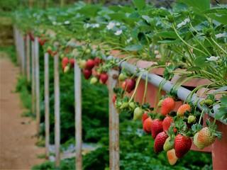 strawberry farm (1)