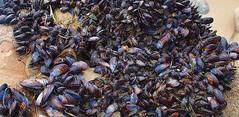 Malibu Mussels (instajuanl) Tags: mussels clams malibu california beach sand salt outdoors