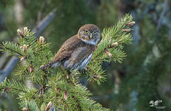 Spring SInger (Northern Pygmy Owl) (The Owl Man) Tags: ngc pygmy owl singing roosting island vancouver