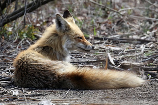 Red Fox reclined...6O3A8379A