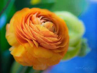 Persian buttercups
