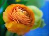 Persian buttercups (Karsten Gieselmann) Tags: 60mmf28 blau blumen blüten bokeh dof em5markii mzuiko microfourthirds natur olympus orange pflanzen ranunkel schärfentiefe textur blossom blue buttercup flower kgiesel m43 mft nature ranunculus texture
