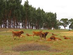 calf paddock (leogaggl) Tags: jersey dairy fleurieupeninsula