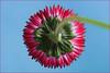 Red energy. Seen from below. (Gudzwi) Tags: tausendschönchen tausendschön gänseblümchen daisy lawndaisy meadowdaisy blume flower vonuntensehen seenfrombelow himmel blauerhimmel sky bluesky masliebchen monatsröserl frühlingsblüher springflower frühling spring zentriert centered rot rotundblau red redandblue smileonsaturday springflower20172018 garden garten flora freitagsblümchen fridayflower macro makro macroorcloseup 7dwf