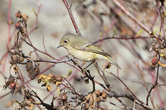 _DSF3548 (jiggumbob) Tags: thorntoncanyon grandcoulee washingtonstate bird rubycrownedkinglet kinglet