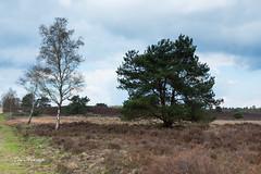 IMG_3272-2.jpg (Leo Kramp) Tags: 2018 flickr manfrotto3wayheadmhxpro3w landschap accessoires loweproflipside300awii heide gitzogt3542ltripod landscape natuurfotografie heather gortel gelderland nederland nl cokinzprond8gradual3stops bloemen