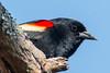 Redwing Blackbird (mattbpics) Tags: bird redwingblackbird canon 70d tamron 150600 150600mm wildlife nature oxford connecticut zz