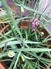 FRITILLARIA MELEAGRIS - (PARK@ARTWORKS) Tags: garden westkirby 150418 spring plans flower west kirby