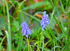 Grape Hyacinth (Neal D) Tags: bc abbotsford milllake plant flower hyacinth grapehyacinth