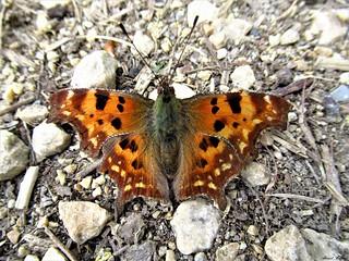 Butterfly 1642