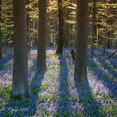 Promenons nous dans le bois , tant que le loup ... (Mike Y. Gyver ( Organize in Albums)) Tags: belgium belgique brussels bruxelles blue nikon nikkor18105 nature goldenhour woods tree light hyacint spring hallerbos stump