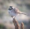 Great Horned Lark (kf55) Tags: bird colorado hornedlark lark rockymountainarsenal