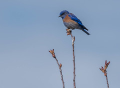 Western Bluebird (sunrisesoup) Tags: bird ellensburg wa usa nature wild westernbluebird sunrisesoup