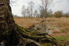 BOG (v a n d e r l a a n . fotografeert) Tags: 201804150998 bargerveen fujixt1 fujifilm fujinonxf18mmf2r sooc berk birch bog boom jpeg roots trees vanderlaanfotografeert veen drenthe nl