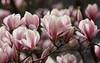 Full Power (AnyMotion) Tags: magnolia tulpenmagnolie magnolia×soulangeana magnolie fullbloom invollerblüte blossom blüte neighbourhood nachbarschaft backyard hinterhof 2018 anymotion frankfurt nature natur plants pflanzen 7d2 canoneos7dmarkii garden garten spring frühling primavera printemps colours colors farben pink rosa