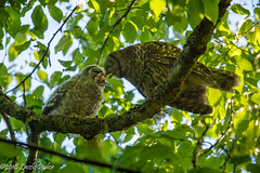 Feeding (laszlofromhalifax) Tags: owl barredowl backyard halifax novascotia canada bird owlet feeding