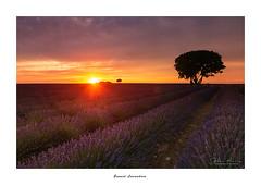 Sunset Lavenders... (Canconio59) Tags: sunset ocaso lavanda lavender brihuega guadalajara españa spain flores flowers azul blue campos fields cielo sky nubes clouds colores colors