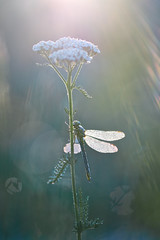Under the sun (donlope1) Tags: macro nature light sunrays sun sunrise libellule dragonfly insect wildlife proxy spring