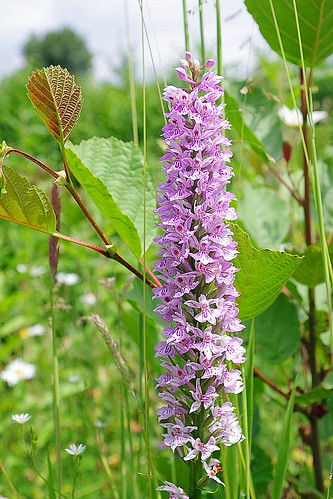 Common Spotted orchids.