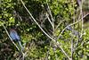 IMG_0971 (armadil) Tags: sanfrancisco sanfranciscobotanicalgarden sfbotanicalgarden bird birds jay jays stellersjay scrubjay motherhood spring
