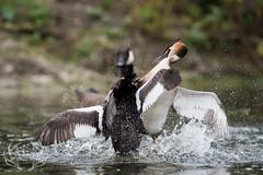 _DSC6469 (Bartek Olszewski) Tags: grebe birds ducks nature nikon nikond4s natureperfectionthernature perkoz wildlifephotography water