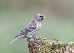 Lesser Redpoll (tickspics ) Tags: ringford birds dumfriesgalloway carduelinefinches scotland lesserredpoll uk acanthiscabaret carduelinae fringillidae