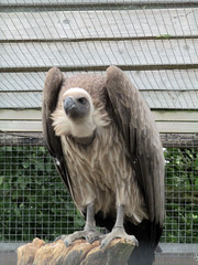 Vulture - Tropical Butterfly House Wildlife And Falconry Centre 2018 (Dave_Johnson) Tags: tropicalbutterflyhousewildlifeandfalconrycentre tropicalbutterflyhouse wildlifepark park centre butterflyhouse anston northanston sheffield southyorkshire animal animals vulture bird birdofprey