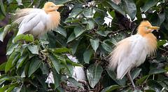 Cattle egret (SamKirk9) Tags: nepal kathmandu bhaktapur