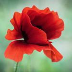 Poppies fill me with joy.... thumbnail