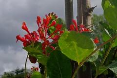 1479-18L (Lozarithm) Tags: caenhill devizes wilts canals flora flowers kennetavon k50 pentax zoom 1855 smcpda1855mmf3556alwr