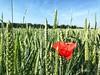 Photo iPhone 7 Plus (shamalow71) Tags: nature champs blé coquelicot