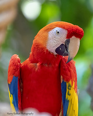 A Scarlet Macaw (Harry Rother) Tags: animal bird parrot macaw scarlet color