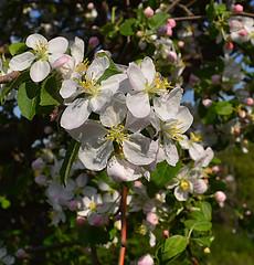 Blooming apple (МирославСтаменов) Tags: russia zhiguli mogutova apple tree branch blooming flower