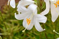 Azucena (AlvarHyls) Tags: flor azucena polen jardín blanco