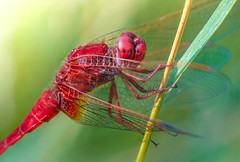 red dragonfly portrait (rian.krenzer) Tags: animal bokeh closeup colorful detailed dragonfly garden insect macro meadow summer sunny