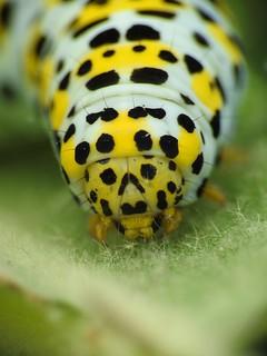 Mullein Moth Caterpillar (Cucullia verbasci)