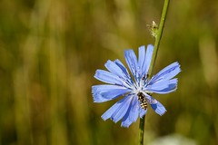 DSC_1600 (benji86cz) Tags: helios manualfocus oldlens flower bokeh macro d3300