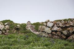 (jonathan_ed1984) Tags: skomer skomerisland wales southwales wildlife wildlifephotographer wildlifephotography shorties shortearedowl owl brittishwildlife jonathanwintlephotography canon 500 500f4 5dmkiii 5d3