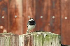 Pied Wagtail, Burwell Fen (andyh866) Tags: burwellfen cambridgeshire